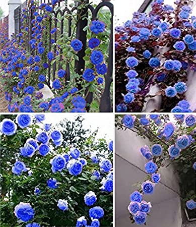 Floral Treasure Blue Climbing Rose Flower Plant Seeds