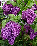 """Common Lilac - Syringa vulgaris - 3.5"""" Healthy Potted Plant - Shrub – 3 Pack by Growers Solution"""