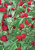 Strawberry Spinach - 250 Seeds - Organically Grown - NON-GMO