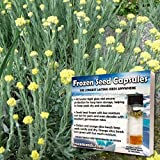 Everlasting Seeds (Helichrysum arenarium) 40+ Flower Medicinal Herb Seeds in FROZEN SEED CAPSULES for the Gardener & Rare Seeds Collector - Plant Seeds Now or Save Seeds for Years