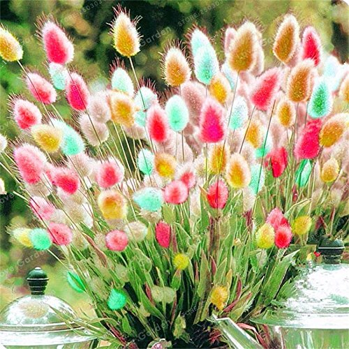 100 Pcs Rabbit Tails Grass Seeds Colorful Fescue Seeds Bonsai Ornamental Grasses Seeds For Home Garden Potted Plants Decor 3 SVI
