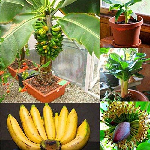 Rare Dwarf Banana Tree Seeds Mini Bonsai Fruit Exotic Home Garden Plants