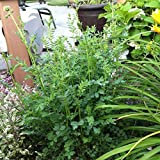 Salad Burnet Organic Seeds (v 425)