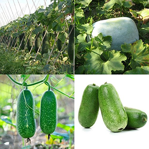 (XKSIKjian's Garden 10Pcs Wax Gourd Winter Melon Balcony Vegetable Seeds Ornamental Plant Home Yard Office Decor Non-GMO Seeds Open Pollinated Seeds for Planting - Wax Gourd)