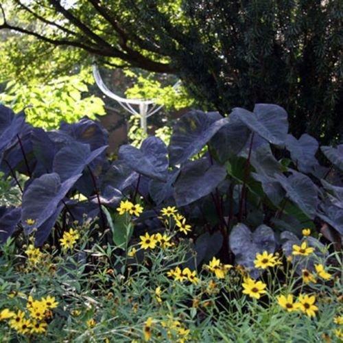 Midnight Elephants (Midnight Elephant Ear Colocasia Live Plant tropical garden)