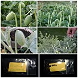 Squirting Cucumber ''Ecballium Elaterium'' - EXTRA RARE - 20 TOP Quality Seeds!