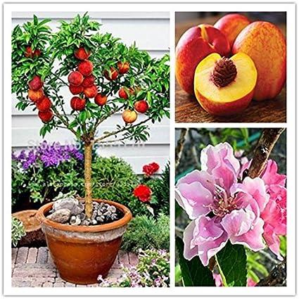 10 pcs semillas de melocotón dulce, semillas del árbol de melocotón, melocotones bonanza enanos, semillas de frutas para bonsai plantas de huerta: Amazon.es: Jardín