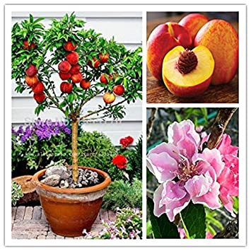 10 pcs semillas de melocotón dulce, semillas del árbol de melocotón, melocotones bonanza enanos, semillas de frutas para bonsai plantas de huerta: ...
