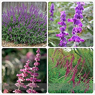 Seeds Market Rare Salvia Leucantha Imported Mexican Bush Sage Pink Flower Seeds, Professional Pack, 30 Seeds / Pack, Bushy Shrub