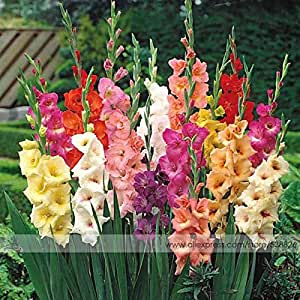 Diferentes perennes Semillas de flores, gladiolo 1 Paquete Profesional, 50 semillas / pack, semillas raras lirio de espada # NF563