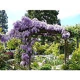 10 Wisteria Plants (Wisteria sinensis)-1 to 2 feet Tall #EW01