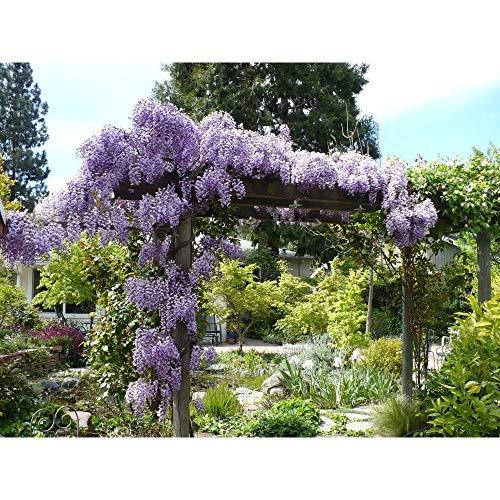 10 Wisteria Plants (Wisteria sinensis)-1 to 2 feet Tall #EW01 by owzoneflower (Image #2)