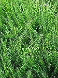 SeedRanch Kobe Lespedeza Seed 50 Lb.