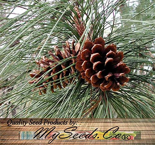 Ponderosa Pine - Pinus ponderosa Tree Seeds AKA BULL BLACKJACK WESTERN YELLOW PINE - Zones 3-7 - By MySeeds.Co (Ponderosa Pine x 1 Pack)