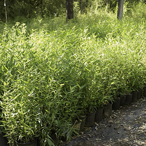 Incense Bamboo Phyllostachys Atrovaginata (2 Gallon 2-3 feet Tall) by Lewis Bamboo (Image #2)