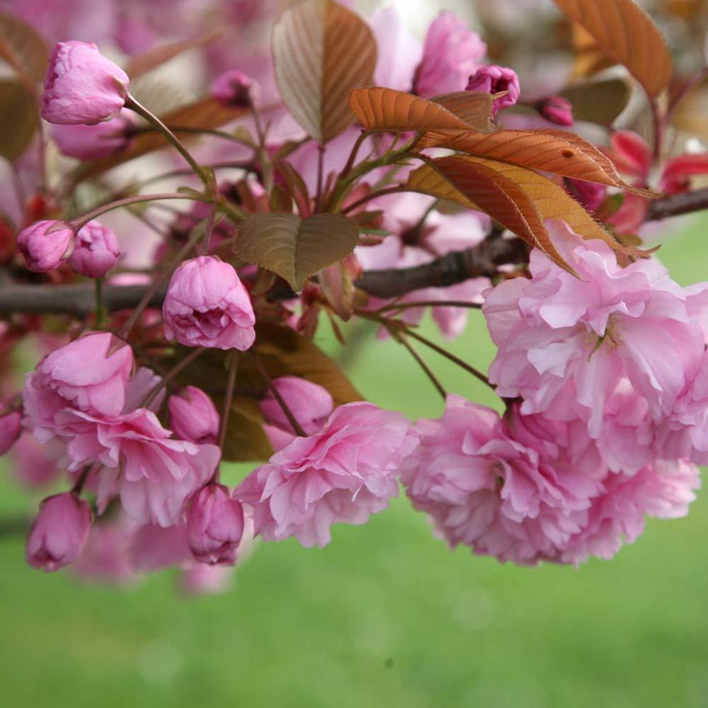 Prunus 'Kanzan' | Japanese Flowering Cherry | Ornamental Garden Tree | 5-6ft Timeless Trees
