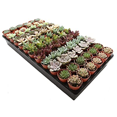 "1.75"" Mini Succulent Assortment (150 Pack) : Garden & Outdoor"