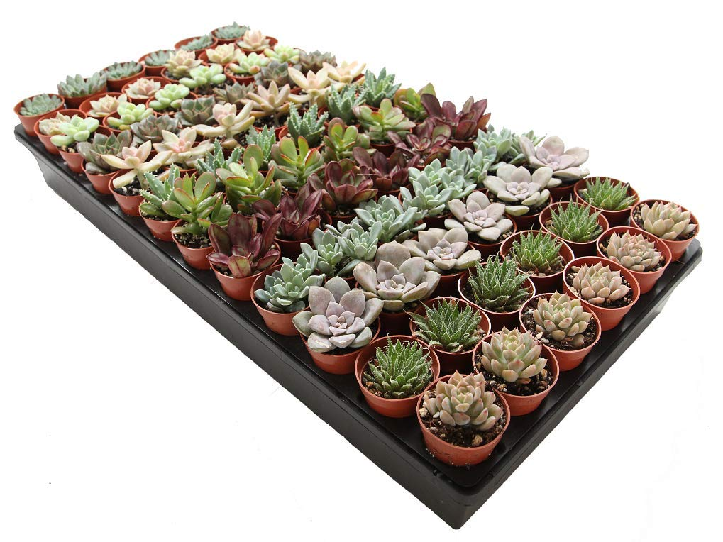 1.75'' Mini Succulent Assortment (72 Pack)