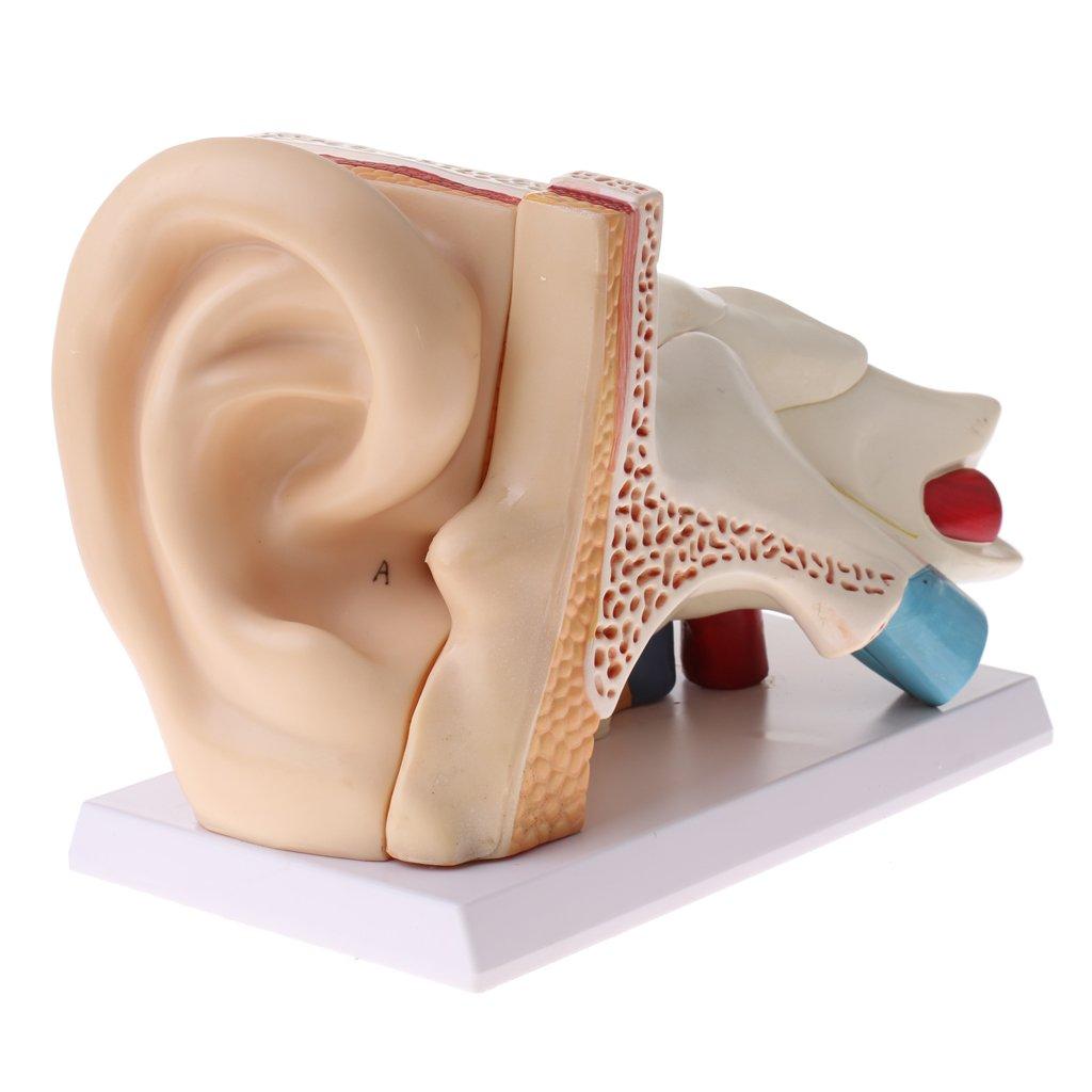 Buy Homyl 6 Times Enlarged Ear Anatomy Model Human Organ Learning