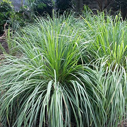 Outsidepride Lemon Grass Plant Seeds - 1000 Seeds (Best Grass Seed To Plant In Winter)