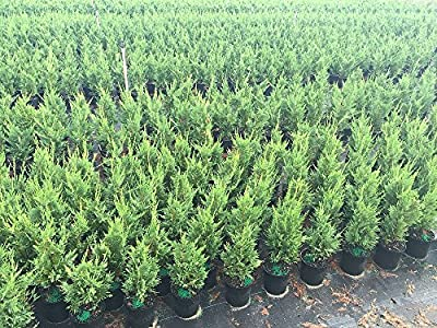 Leyland Cypress Live Plant Evergreen Privacy Tree