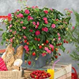 SALE Hanging Basket Strawberry Plant Seeds Delicious Sweet Fruits
