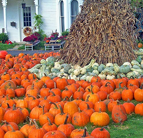 Home Comforts Canvas Print Halloween Corn Pumpkins Autumn Fall Gourds Stalks Vivid Imagery Stretched Canvas 32 x 24 -