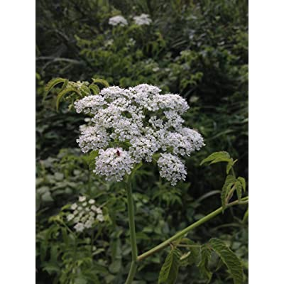 1 oz Seeds (Approx 12000 Seeds) of Cicuta maculata, Water Hemlock : Garden & Outdoor