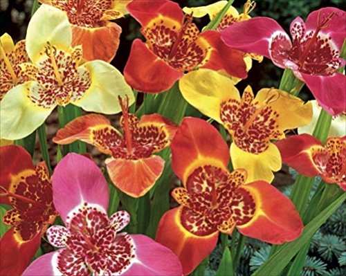 10 Bulbs -Tigridia MIX,Yellow – RED ,Mexican Shell Flower,tiger flower,tiger iris.
