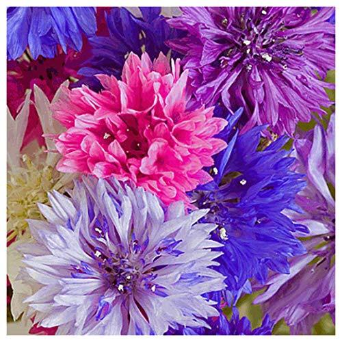 Everwilde Farms - 1/4 Lb Tall Mixed Cornflower Wildflower Seeds - Gold Vault