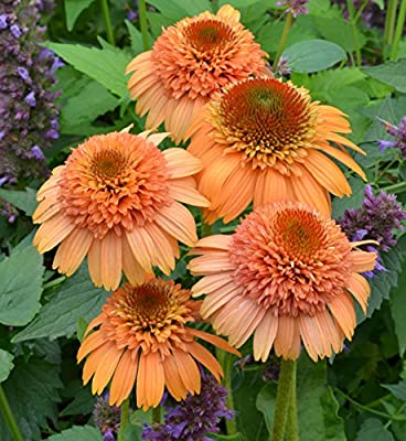 65+ Supreme Cantaloupe Coneflower Seeds (Echinacea) - DH Seeds - UPC0742137106117 - 2 Plant Markers Included