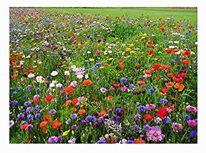 501aa5825e45fa Amazon.com   Western Wildflower Seed Mix - Annuals and Perennials ...