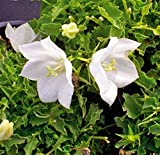 White Bellflower Seeds, (50 seeds) Campanula carpatica alba 'Weisse Clips'/White Clips, beautiful perennials, great border plant