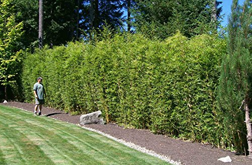 Alphonse Karr Bamboo Clumping Non Invasive Privacy Hedge by Florida Foliage (Image #5)