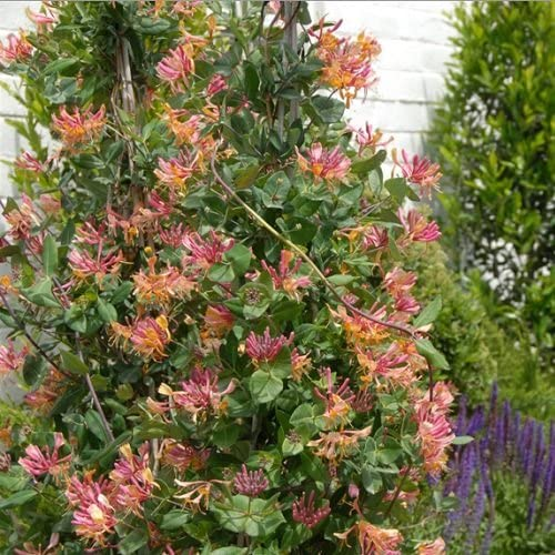 3 Madreselva American Beauty (Lonicera) | compra 3 / paga 2 (para jardin, balcón y patio) – Maceta de 1.5 litro (Planta trepadora - Madreselva - 3 Plantas adulta) - Paredes y