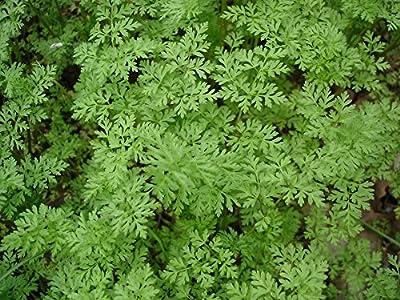 Seeds Herb Chervil Openwork Organic Russian Heirloom Herb Seed