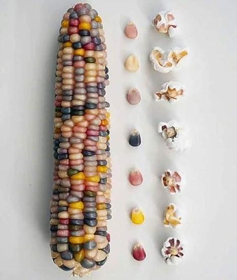 Amazon Com 200 Seeds Ornamental Corn Seeds Glass Gem Popcorn
