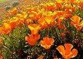 Orange Poppy Seeds, Heirloom Orange Poppies, Bulk Flower Seed, Wildflowers 500ct
