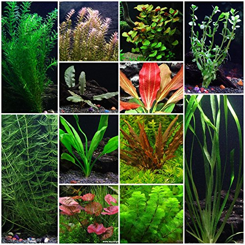 12 Species Live Aquarium Plants Package - Anacharis, Swords, Vallisneria, Anubias and more! by Aquarium Plants Discounts