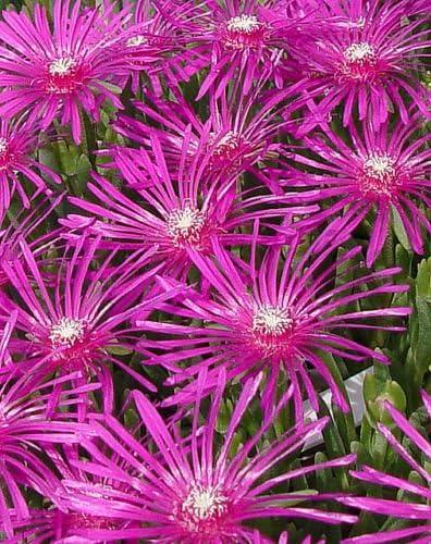 2X Hardy ICE Plants Delosperma cooperi Succulent Rockery or Patio Plant 7cm Pot