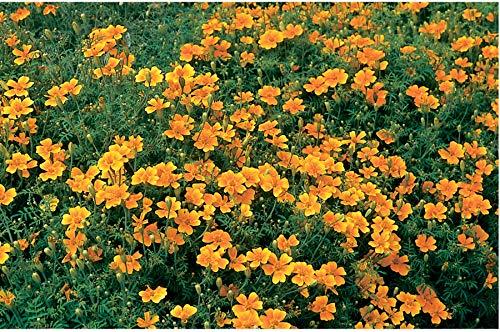 (David's Garden Seeds Flower Marigold Tangerine Gem 5552 (Orange) 500 Non-GMO, Open Pollinated Seeds s)