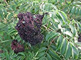 "Wyldewood Elderberry Perennial Shrub - Sambucus - Native - 3.25"" Pot"