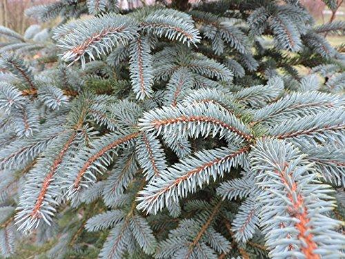200 Stk. Blaufichte - Blautanne - (Picea pungens glauca)- Wurzelware- 20-40 cm- 4 jährig