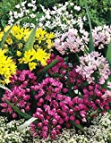 GARTHWAITE NURSERIES® : - 60 Mixed Miniature Allium Bulbs Hardy Fragrant Summer Perennial Plant 25Cm High