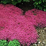 Outsidepride Magic Carpet Creeping Thyme Ground Cover Plant Seed - 500 Seeds