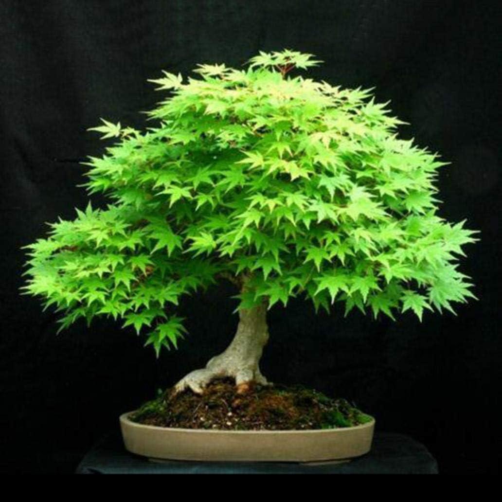 Dark Blue Maple Tree Seeds Uticon 30Pcs Japanese Maple Tree Seeds Acer Palmatum Plant Home Garden Bonsai Decor