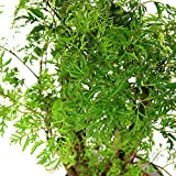 American Plant Exchange Dwarf Ming Aralia Tree