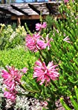 VISA STORE Erica ~ Pink Heath ~ Amazing Shrub ~ 5 Tiny Rare Seeds ~