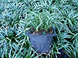 New and Healthy 18 Pots, DWARF MONDO GRASS, Evergreen, ground cover, border, rock garden.