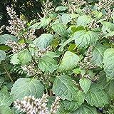 Patchouli Seeds (Pogostemon cablin) 50+ Organic Aromatic Medicinal Herb Seeds